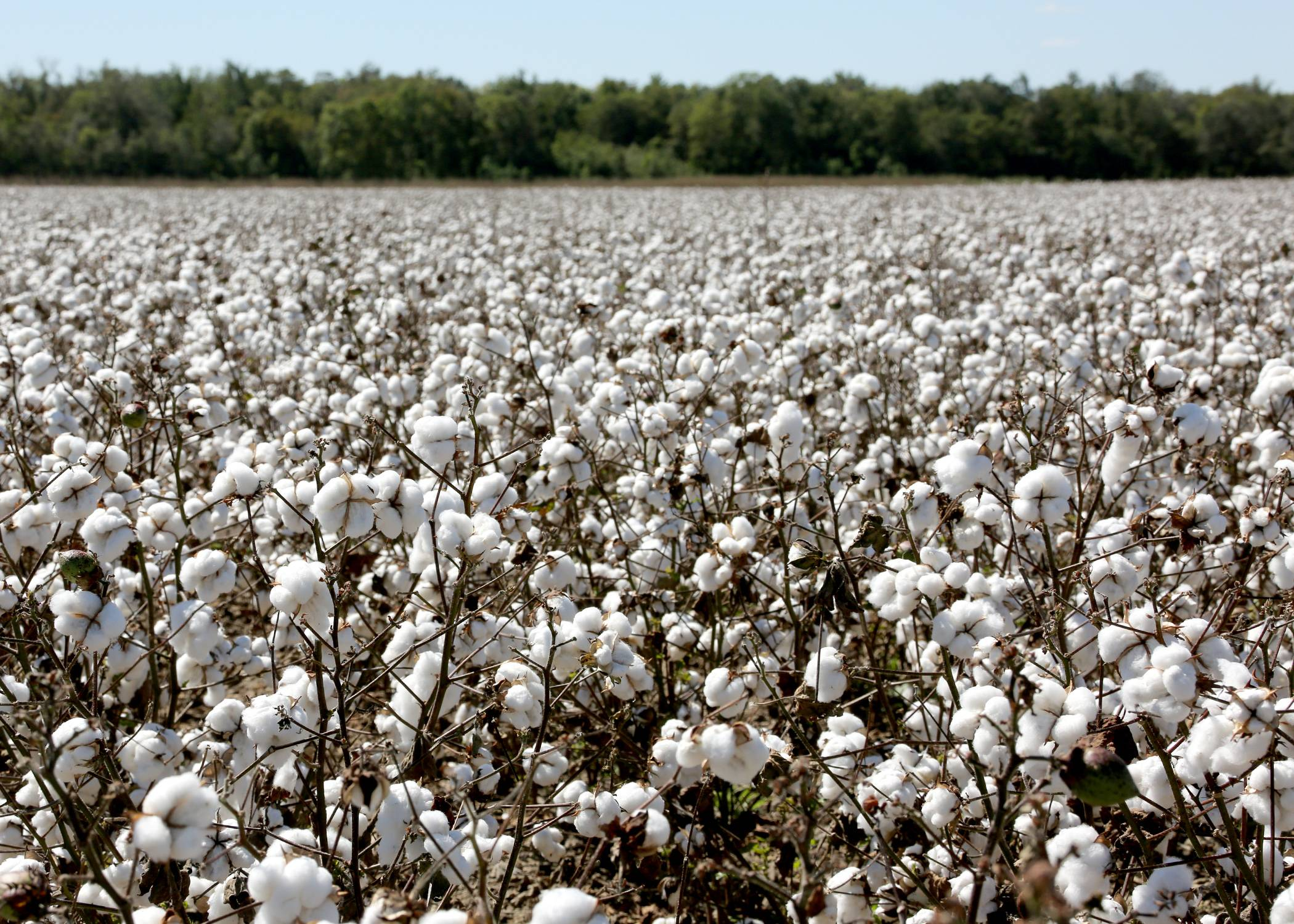 MS Farmers Expected to Plant More Cotton, Soybeans This Year
