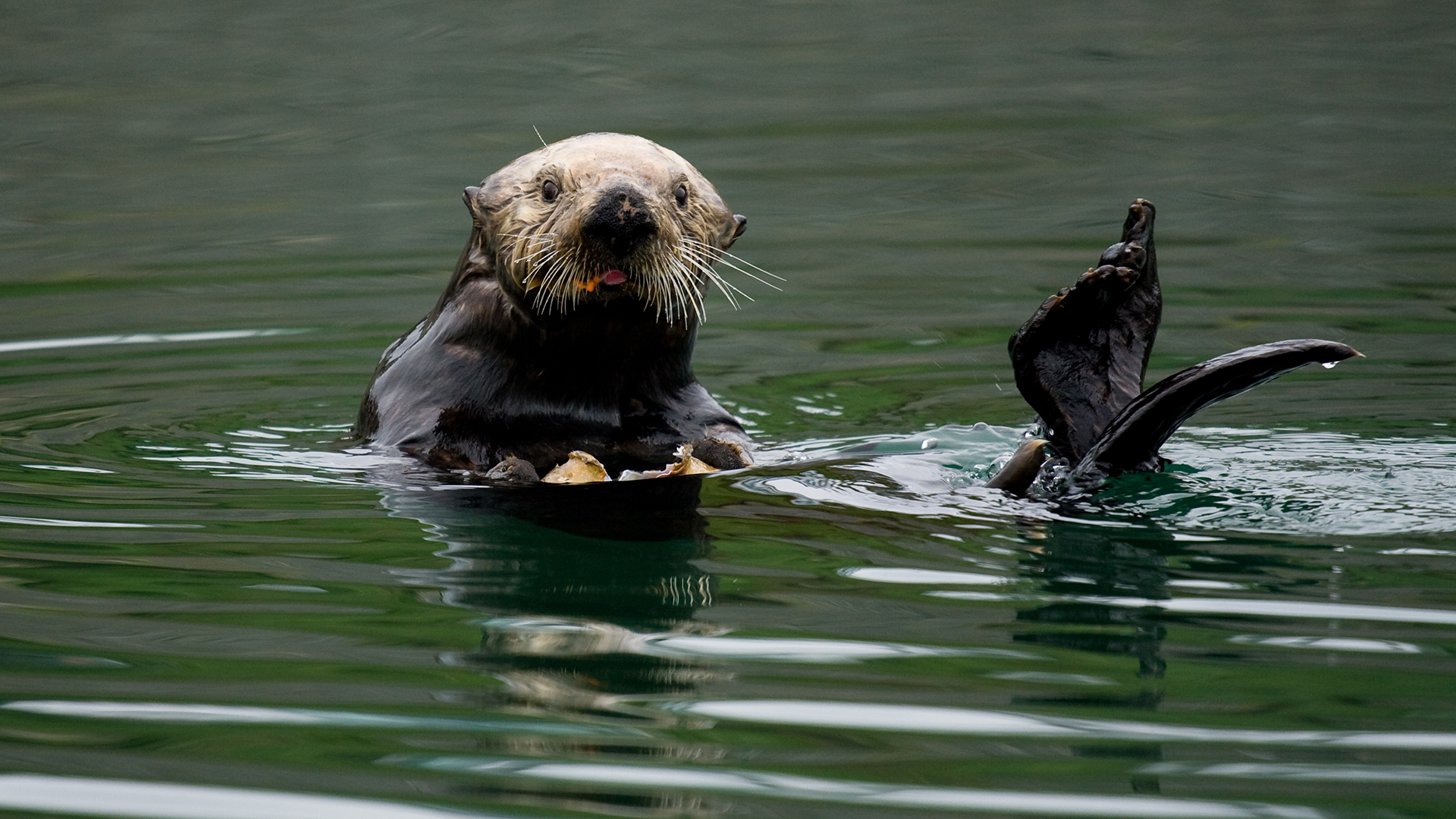 Meet the Southern Sea Otter