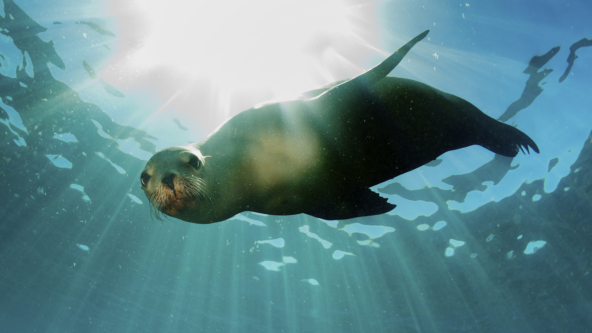 Meet the California Sea Lion