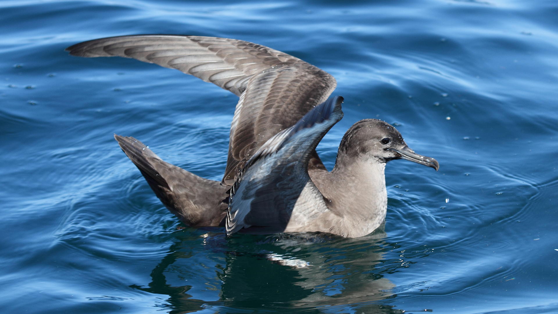 Meet the Sooty Shearwater
