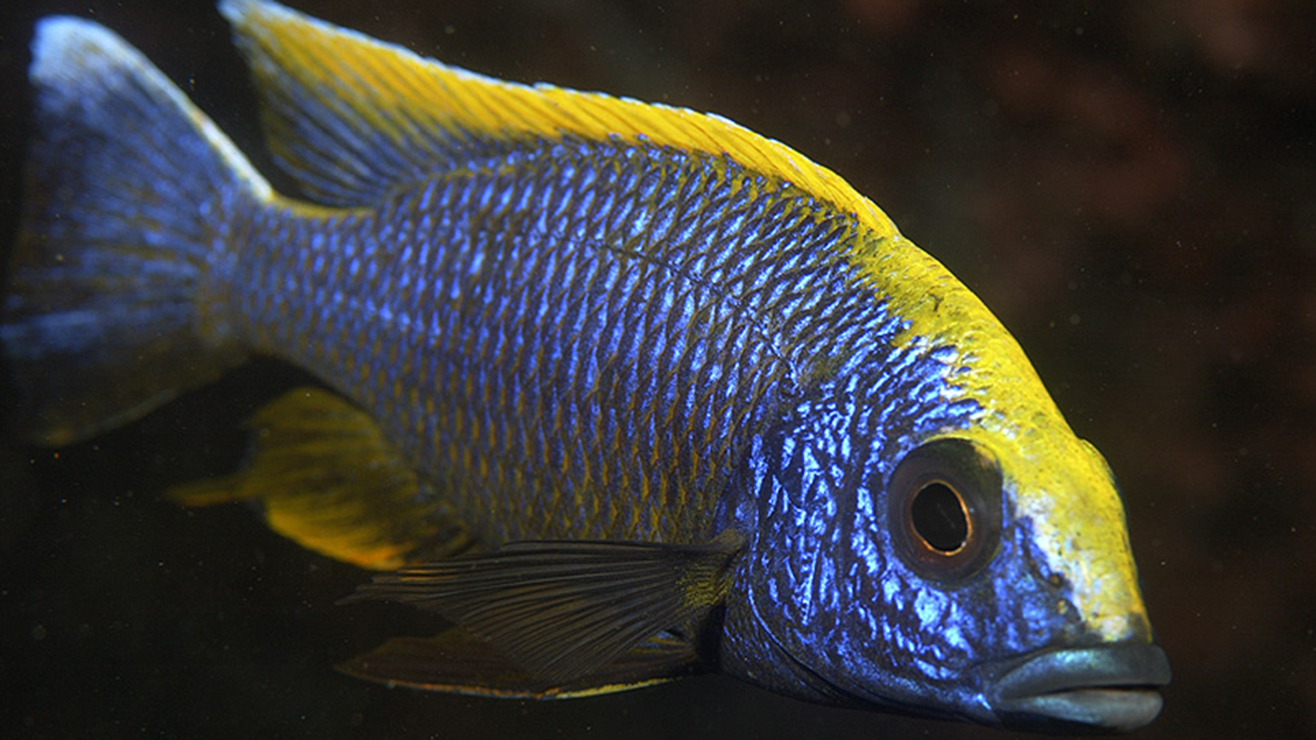 Freshwater Cichlids