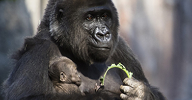 WATCH NOW: Baby Gorilla: Four-Pound Legacy