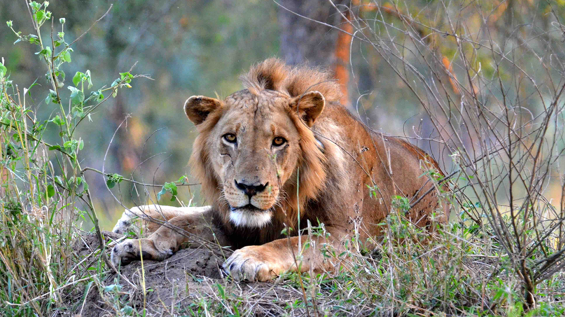 Meet the Lions of Gorongosa