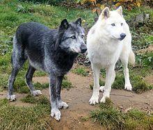 modern day wolves