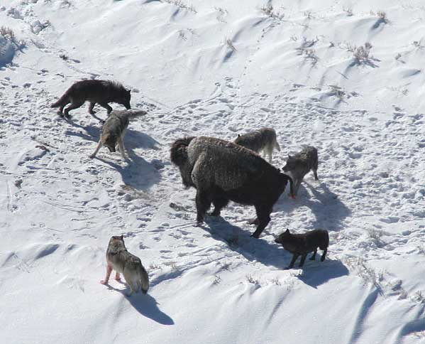 wolves attacking buffalo
