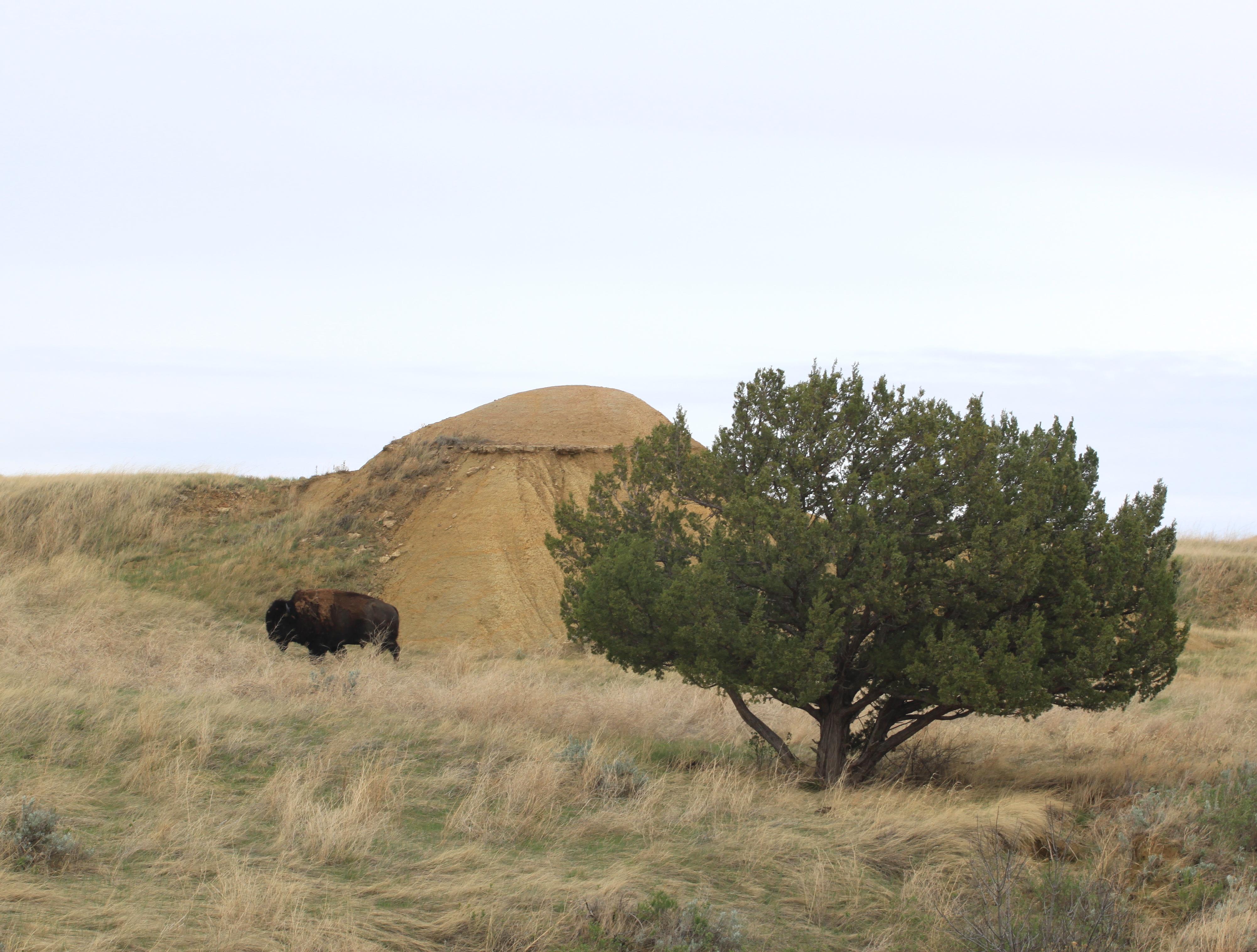 bison4.JPG