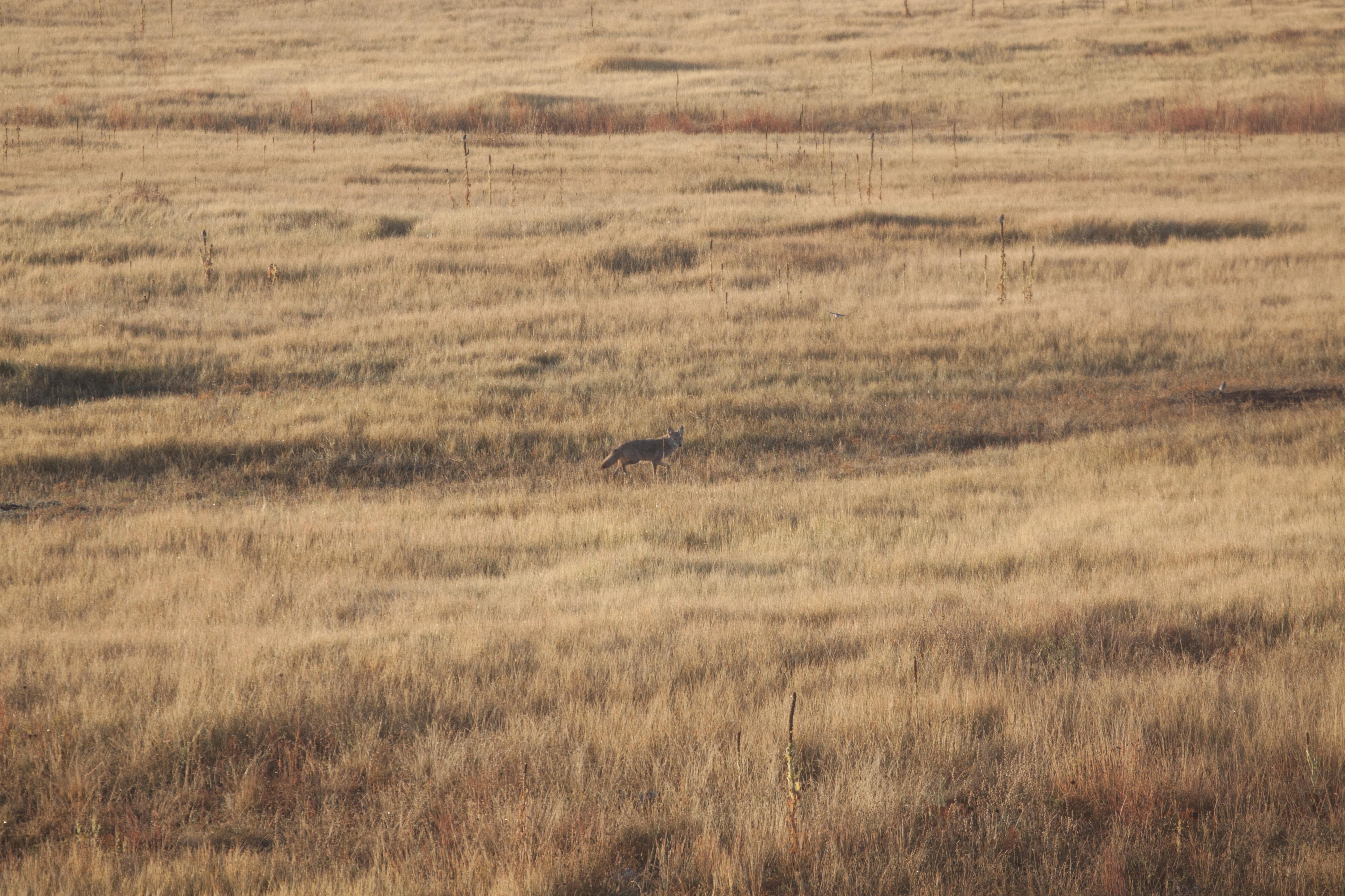 coyote5.jpg