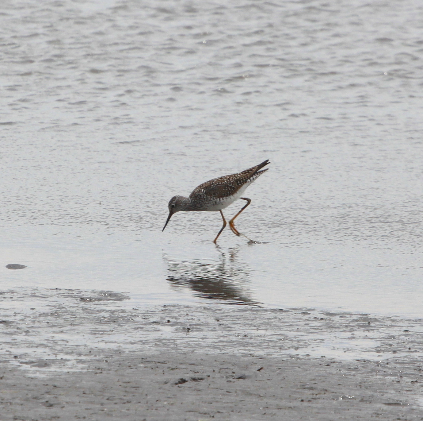 greateryellowlegs2.JPG