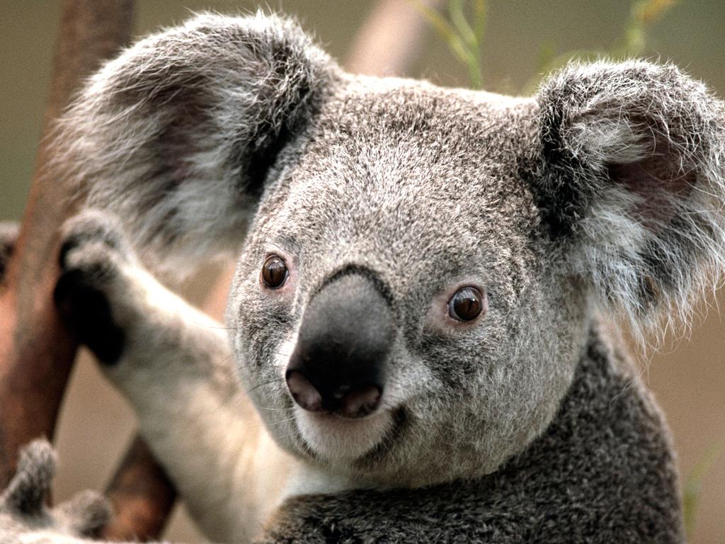 Crispy Southern Fried Koala