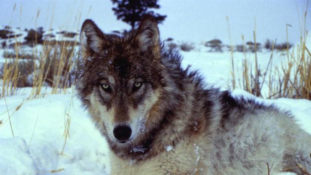 body_return-wolves_1.jpg