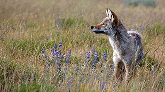 The coyote (Canis latrans) is a common predator in the park, frequently seen in wide open areas like Lamar Valley.