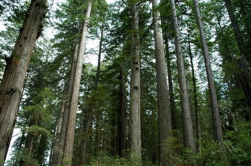 Sequoia_sempervirens_LBJ1.jpg