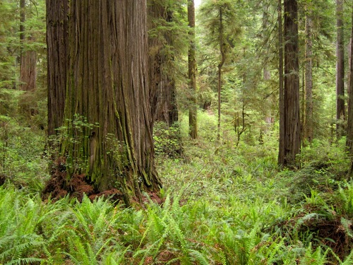 Thumbnail image for Redwoods_Jedediah_Smith_Redwoods_State_Park_2.jpg