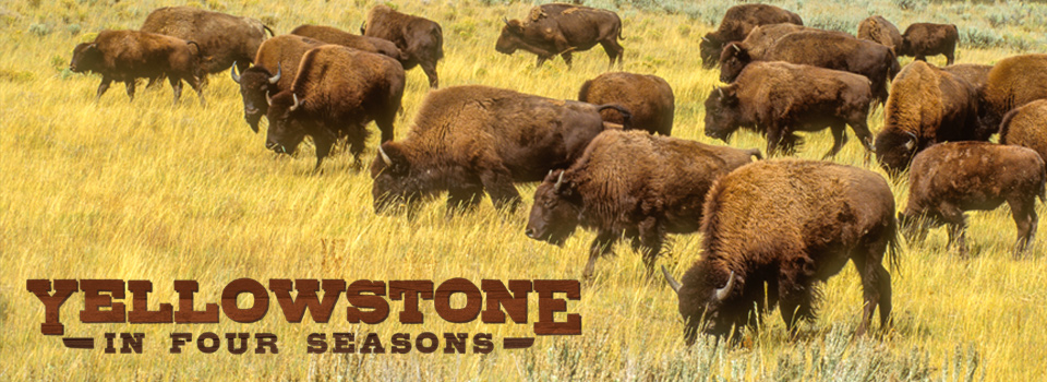 Yellowstone in four seasons - buffalo grazing