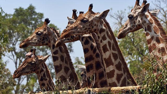 Nature: Giraffes: Africa's Gentle Giants