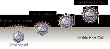 illustration of a cell envelope