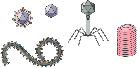 illustration of various virus structures