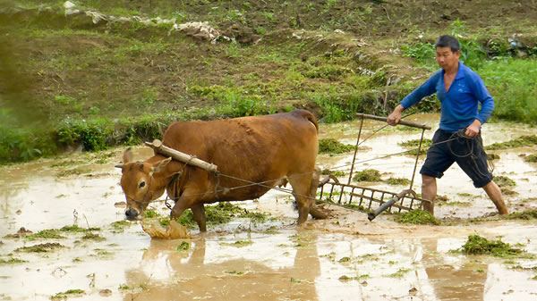 Farmer and ox plowing a field