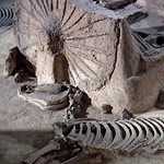 archaeological excavation of a horse skeleton next to ancient chariot