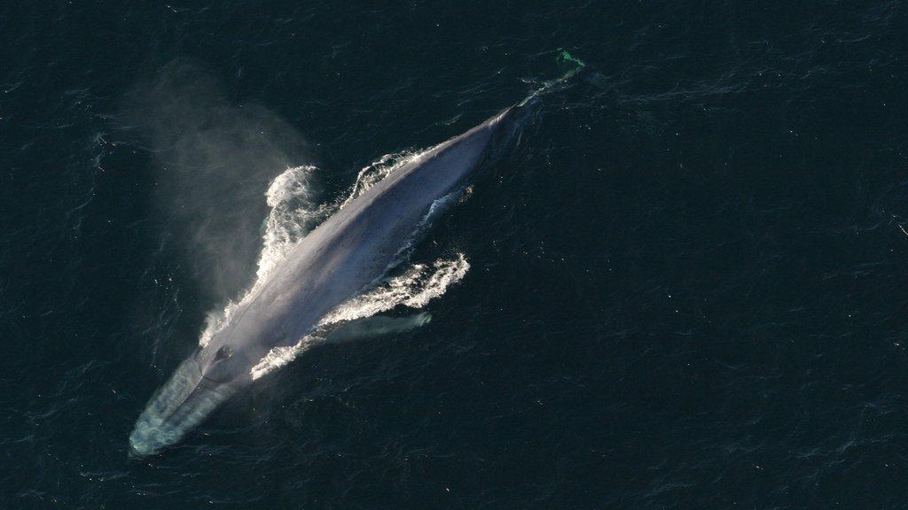 BBL_bluewhale.jpg