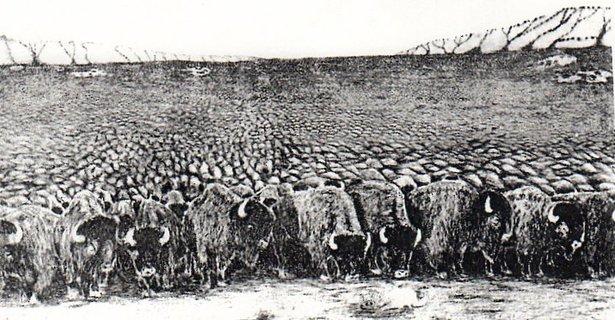 large buffalo herd