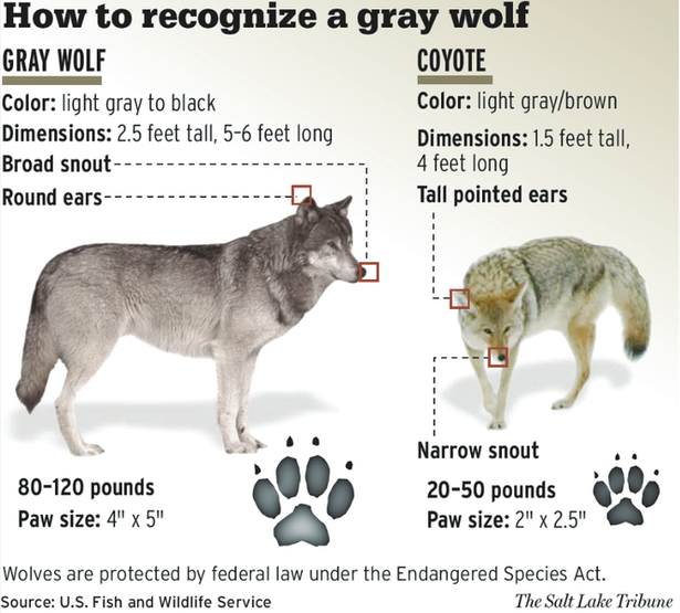 wolf identification guide