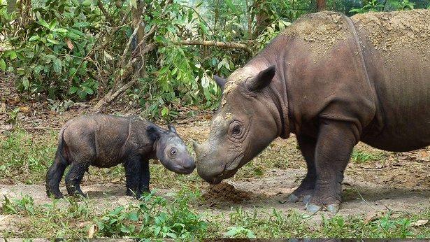 Nature: Last Rhino