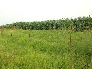 Asparagus along a fence line.