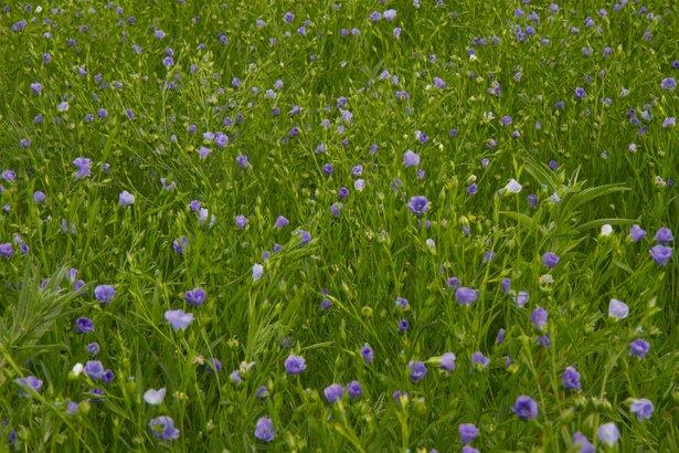 Flax plants open