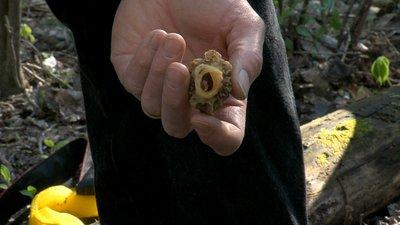 Morels have a hollow stem.