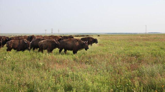 Badger_bison.jpg