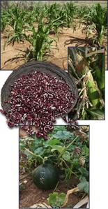 corn_bean_squash.png
