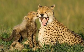 30_baby-cheetah-licks-mama-cheetah.jpg