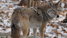 nature_blog_meet-the-coywolf.jpg