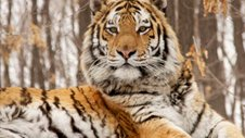 Nature | Siberian Tiger Quest