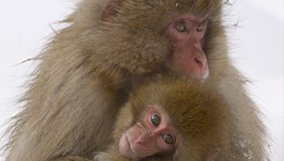 nature_blog_snow-monkeys.jpg