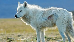 nature_blog_white-falcon-white-wolf.jpg