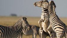 Nature | The Great Zebra Exodus