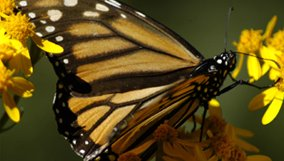 science_blog_nova_incredible-journey-of-butterflies.jpg