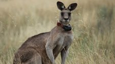 Nature | Kangaroo Mob