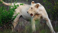 Nature | The White Lions