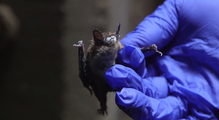 Bat image from the feature on Michigan Bats