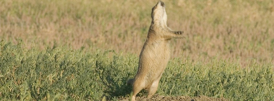 Prairie dogs play an extremely important role in the Charles M. Russell National Wildlife Refuge prairie ecosystem.