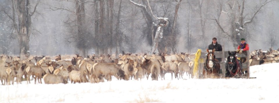 Wyoming Game and Fish employees feeding hay to thousands of elk just south of Jackson Hole in the South Park feed ground.