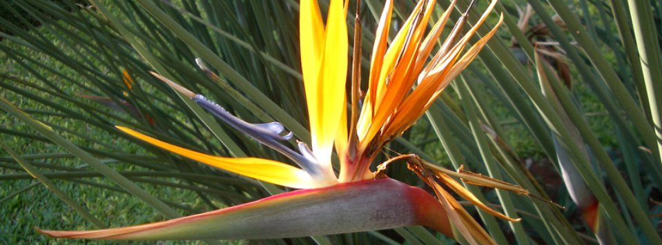 The Bird of Paradise flower is found in many tropical forests and is related to the banana family.