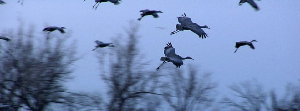 Sandhill Cranes landing on the Platte River in central Nebraska.