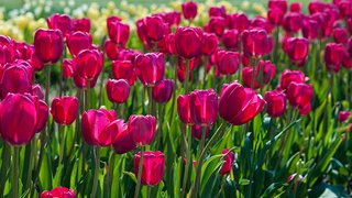 Wicked Tulips
