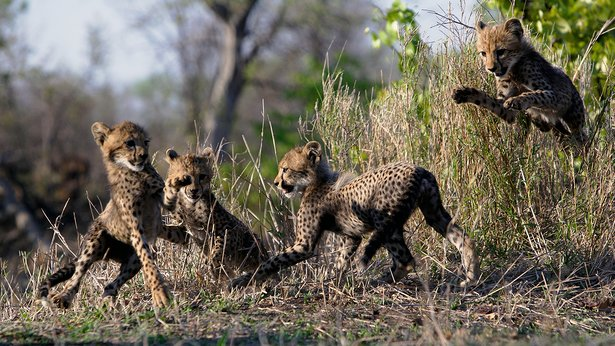 Cheetah Children