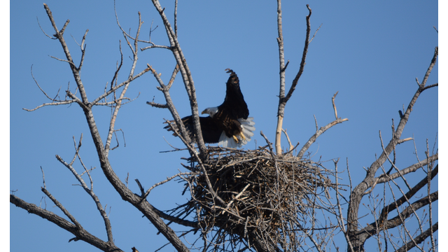 A Bald Eagle Nest Weighs How Much