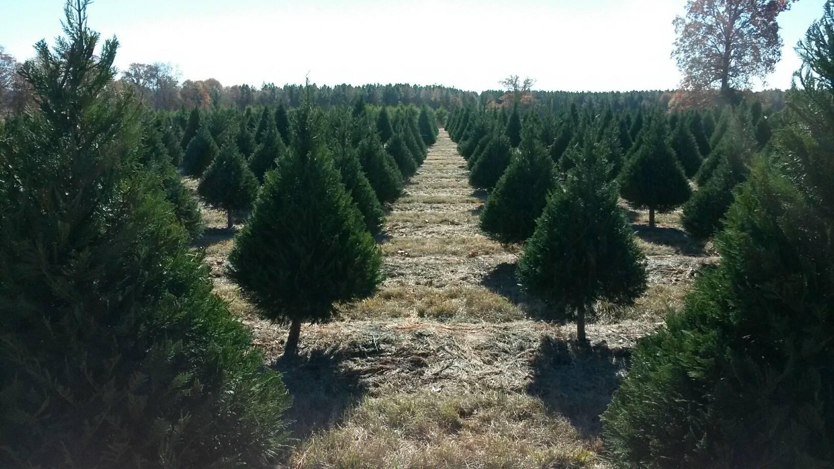 christmas tree farms near rochester ny